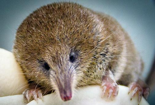Pygmy shrew: at risk of extinction