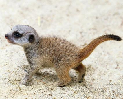 Baby meerkat at Dublin zoo