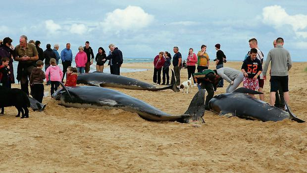 The dead pilot whales which were beached at Ballyness Beach in North Donegal yesterday