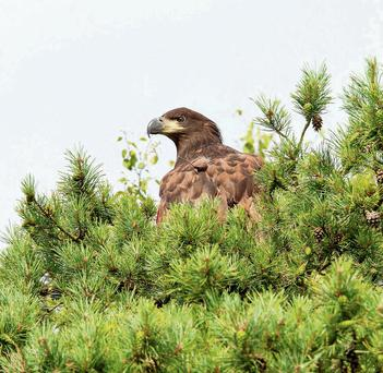 The sea eagle chick sitting on its perch on Cribby Island, Lough Derg
