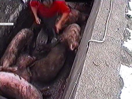 SLAUGHTERHOUSE: Shocking video footage shows farmer Tom Galvin as he carries out a massive cull of his entire herd of 4,000 pigs at his farm in Dungarvan, Co Waterford