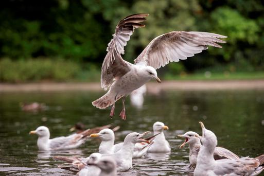 Gulls become aggravated when chicks learn how to fly