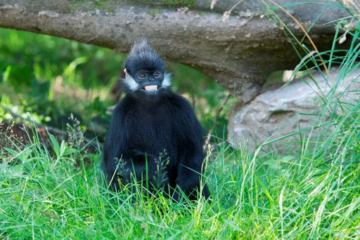 Francois Langur monkeys Yinx (4) and Ki (3) on their newly opened island at the Asian Sanctuary in Fota Wildlife Park in Cork