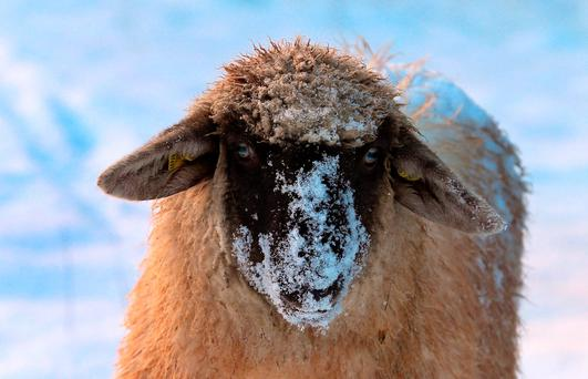 A sheep with snow on its head stands in a meadow near Apfeltrang, southern Germany. Chilly weather is on the way here too
