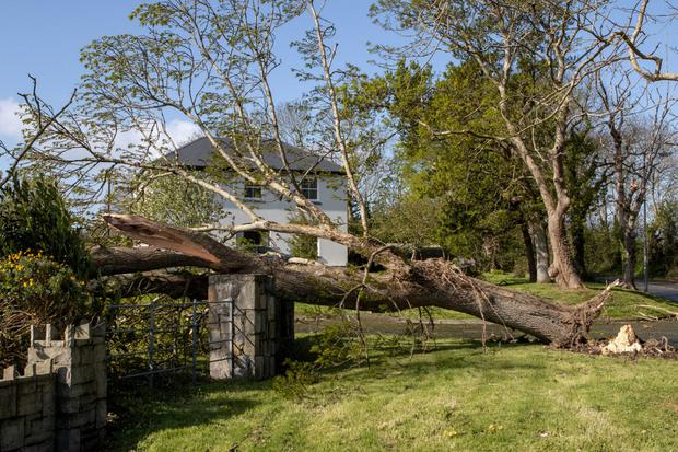 AFTERMATH: Storm Hannah uprooted and split numerous trees in Co Clare, including this one near Kilrush. Photo: Press 22