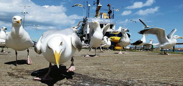 Seagulls have been branded pests by Senator O'Sullivan