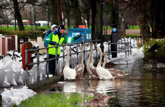 Local residents feed the swans at the flood barriers at Wolfe Tone Terrace, Athlone, Co Westmeath