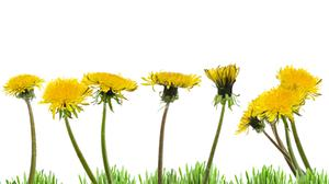 'First up on my lazy lawn were dandelions, zillions of them' (stock photo)