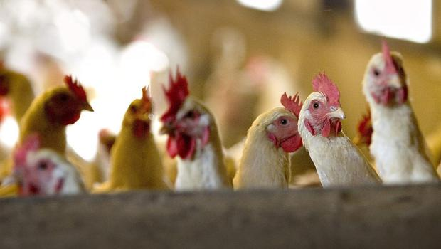 March is the traditional auction season for buying up, hatching and breeding stock. But be wary. (Stock picture)