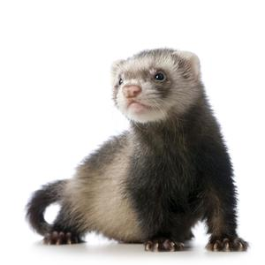 Before the vaccine: In Co Waterford, it was believed that eating the food left behind by a ferret would cure a whooping-cough