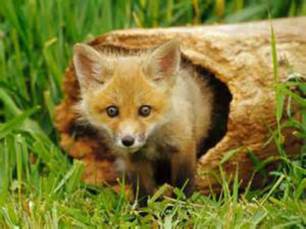 Fox's tale: Rediscovering the story of a woman who had befriended a fox and then lost it to the wild