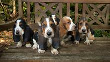 Bassett Hound pups were also seized at Cairnryan Port