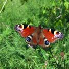 BRUSH OF COLOUR: The Peacock butterfly has distinctive circular markings on its wings and its larvae (black caterpillars with white specks) thrive on nettle leaves