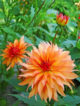 It's Dahlia time for dedicated gardeners.