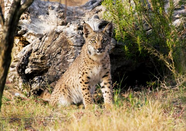 Under threat: The Iberian Lynx. It is estimated 33pc of deaths have been traffic-related