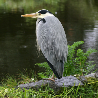 On patrol: A heron waits patiently, Mount Usher Gardens, Co Wicklow