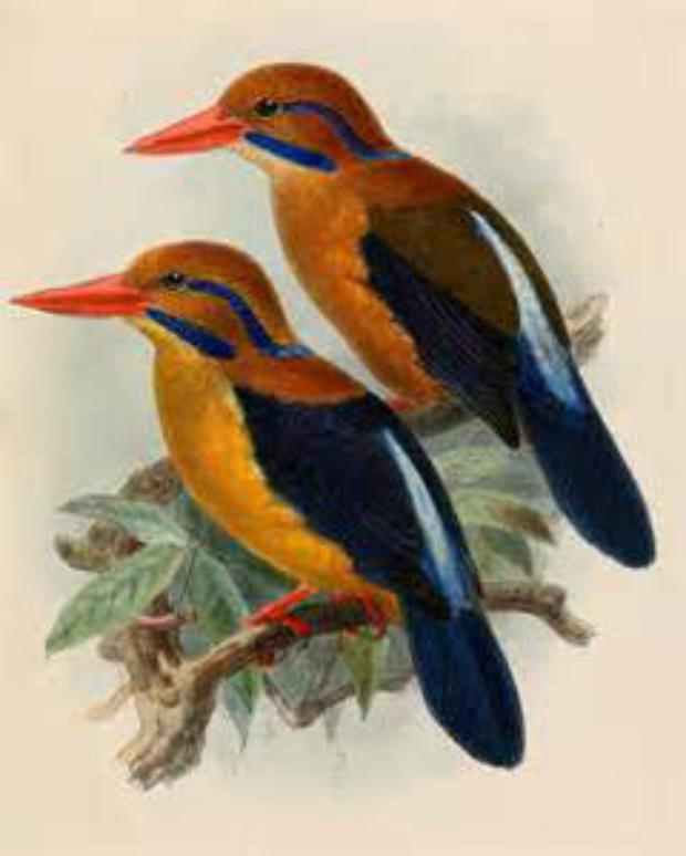 Moustached Kingfisher of Guadalcanal in the Solomon Islands