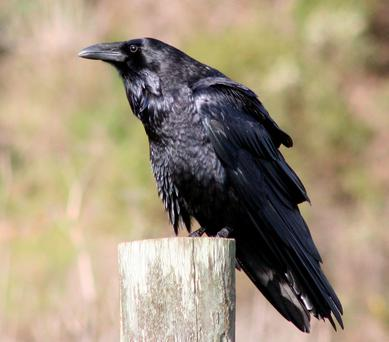 Highly intelligent: Corvus corax, the common raven