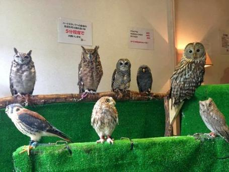 Mice work if you can get it: Owls wait patiently for their treats in Akiba Fukurou