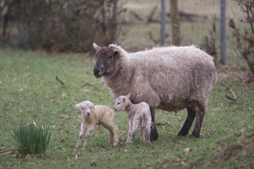 Happier times: a sheep with two new-born lambs at Castletown Cooley. Picture: Jim O'Kelly