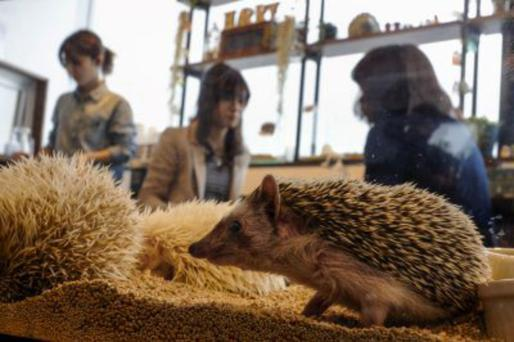 Prickly character: A hedgehog café has opened in Tokyo, where visitors can pet the creatures, or even cuddle them