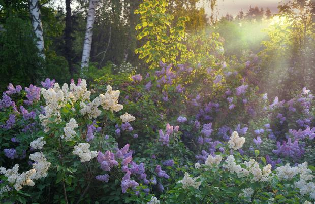 Lilac bushes in full bloom.