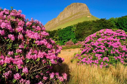 Into the wild: Rhododendrons grow wild at the foot of Benbulben in Sligo.