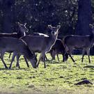The FMD crisis is a big threat to deer like this in Killarney National Park . Pic: Eamonn Keogh (MacMonagle, Killarney)