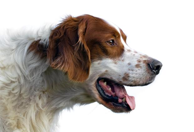 Red and white setter