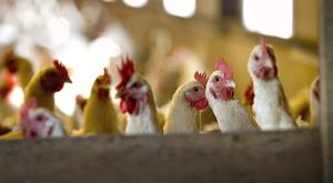 Poultry profits could be boosted (Stock picture)