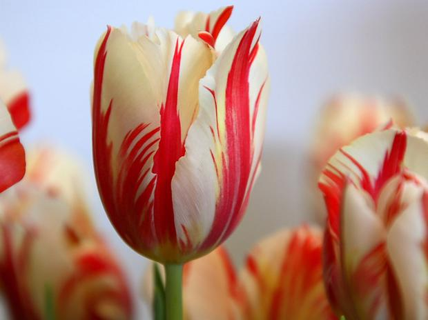 Tulips abound at this time of year