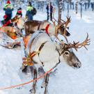Reindeer in Lapland - magical!