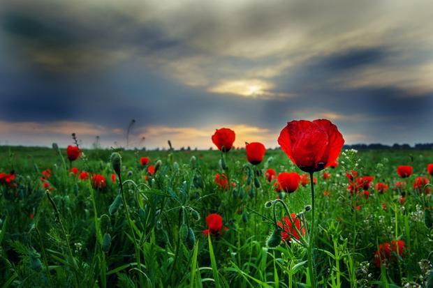 A field of poppies - now the symbol of the slaughter on the Somme