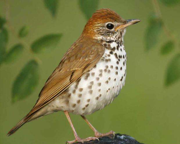 Sing, sing, sing: The thrush