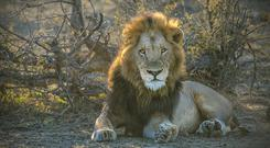 Young male lion seen in Thornybush Game Preserve, Limpopo province of South Africa