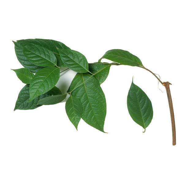 Leaves from Banisteriopsis caapi (Ayahuasca)