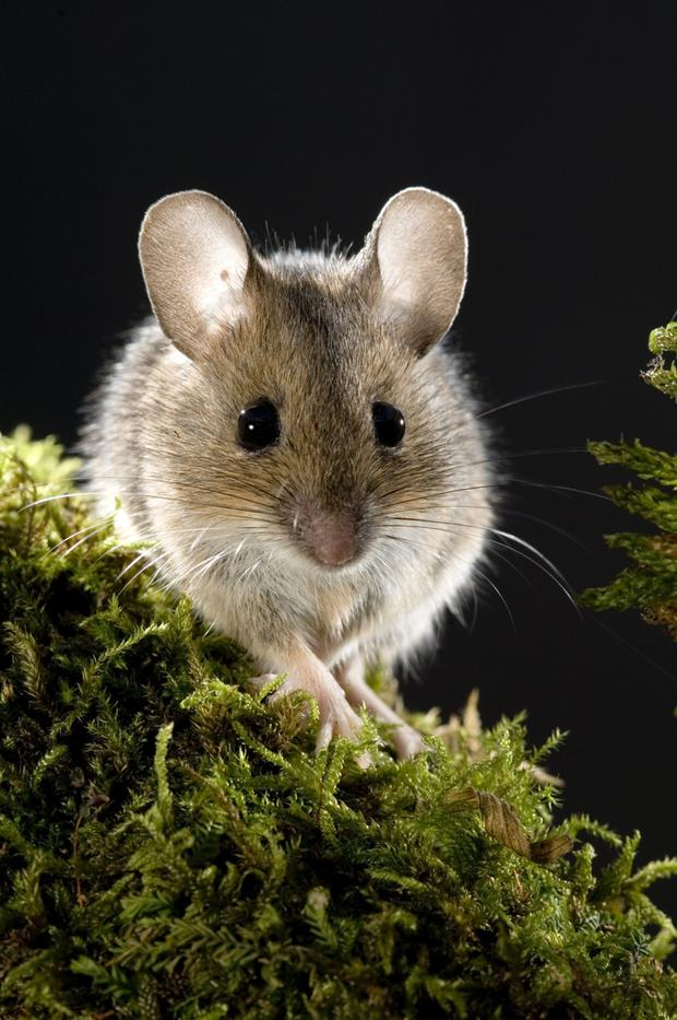 A field mouse does the cute pose