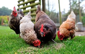 The re-homed dogs and rescued battery hens have been brought to Hydebank Wood.
