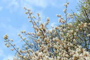 The Amelanchier has a 'vase' shape and a lovely colour which makes it a good privacy tree. You also have plenty of space light at ground level to plant other things.