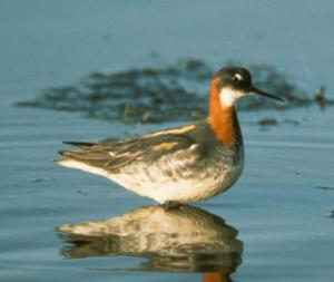 Red-necked Phalarope: back on Mayo reserve after 30 years
