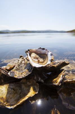 A fresh DK oyster in Ballinahill Bay, Galway. Photo by Michael O'Meara.