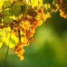 Chardonnay can reflect its immediate environment more than most others.