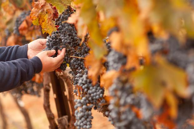 Labour of love: Making biodynamic wine is a 'spiritual science'.
