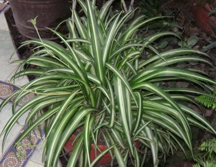 HUMBLE POT PLANT: The ubiquitous spider plant can get rid toxic agents in the air introduced through scented products