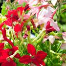TOBACCO FLOWER: From the warm parts of South America, this plant is popular due to a trend for more natural gardening