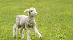 Lambing season 2018 is looked forward to