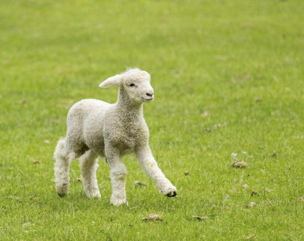Lambing season is in full swing