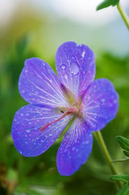 Johnson's Blue Geranium