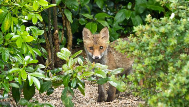 A wild fox is finding its way into a reader's garden.