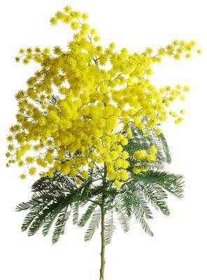 Silver Wattle (Acacia Dealbata)